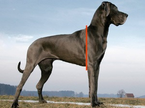 Withers Position on a Great Dane Side View