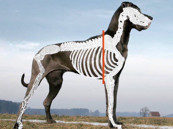 Skeletal View Showing Withers Position on a Great Dane Side View